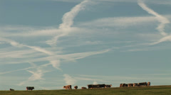 Vapor trails and cows, Winter in England Stock Footage