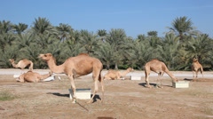 Stock Video Footage of Camel farm