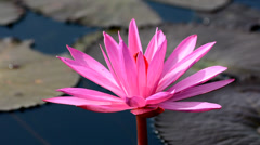 Pink Lotus blooming in the pond Stock Footage