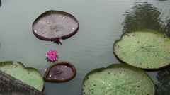 Lucky lotus leaves Stock Footage