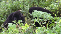 Stock Video Footage of Two wild mountain gorillas life in Volcanoes National Park, Rwanda