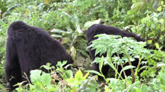 Stock Video Footage of Virunga Mountains gorillas in bushes, Volcanoes National Park