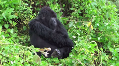 Stock Video Footage of Male of mountain gorilla in Virunga, Rwanda