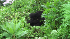 Stock Video Footage of Virunga Mountains gorilla with child in bush, Volcanoes National Park
