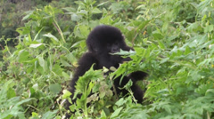 Stock Video Footage of Virunga Mountains gorilla in bush, Volcanoes National Park