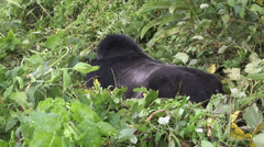 Stock Video Footage of Virunga Mountains gorillas wildlife, Volcanoes National Park, Africa