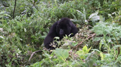 Stock Video Footage of Wild mountain gorilla in Rwanda, Africa