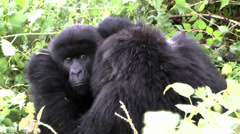 Stock Video Footage of Two wild mountain gorillas relationship in Rwanda, Africa
