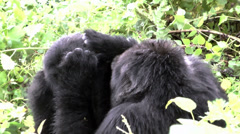 Stock Video Footage of Mountain gorillas life in Volcanoes National Park. Rwanda, central Africa