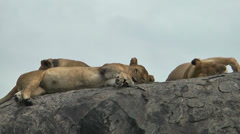 Pride of lions lying on rocks in Ngorongoro Crater area, Tanzania, Africa Stock Footage