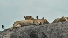 Lionesses lying on rocks in Ngorongoro Crater, Tanzania, Africa Stock Footage
