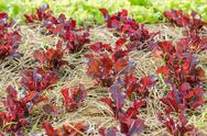 Stock Photo of red lettuce plant