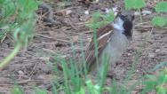 Stock Video Footage of Sparrow on Meadow in Green Grass, Close up of Hungry Birds Feeding in Nature