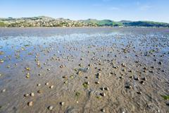 Thousands of spiral shells crawl on the wetland mud beach in sumner, christch Stock Photos