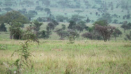 Stock Video Footage of Cheetah walking in savanna, Africa