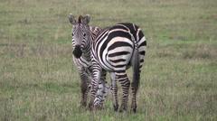 Plains zebras in Serengeti National Park and Ngorongoro Crater, Tanzania, Africa Stock Footage