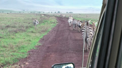 Zebras walking in front of vehicle in Serengeti National Park, Tanzania, Africa Stock Footage