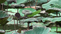 Two Oriental Magpie-Robins take a bath in a lotus leaf 2/2 Stock Footage