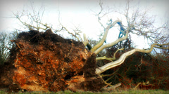 Huge tree uprooted after storm# Stock Footage