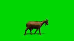 Goat walk - separated on green screen Stock Footage