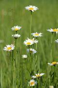 white wild flowers spring season - stock photo