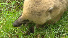 South American coati (Nasua nasua)  forages in grass - close up Stock Footage
