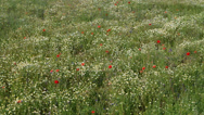 Stock Video Footage of poppies, grass, chamomile