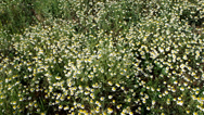 Stock Video Footage of camomile