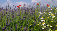 Poppies, grass, chamomile, lavender Stock Footage