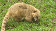 South American coati,(Nasua nasua)  forages in grass - side view Stock Footage