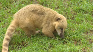 Stock Video Footage of South American coati,(Nasua nasua)  forages in grass - side view