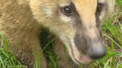 South American coati (Nasua nasua)  chewing, sniffing - on camera Stock Footage
