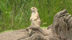 Prairie dog (Cynomys) standing upright near burrow and runs away Stock Footage