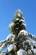 Evergreen conifer with snow covered branches Stock Photos