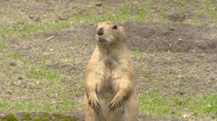 Prairie dog, Cynomys, stands near its burrow, sandy face, eats with hands Stock Footage