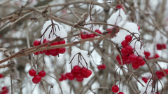 Snowball red branches under snow at winter Stock Footage