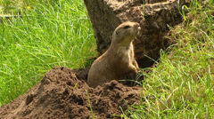 Prairie dog, Cynomys, collects grass near its new digged burrow Stock Footage
