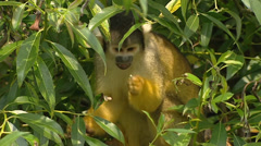 Squirrel monkey, saimiri sciureus boliviensis, foraging in tree Stock Footage