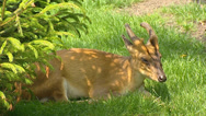 Stock Video Footage of Chinese Muntjac, Muntiacus reevesi, ruminant