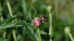 Big beetle sits quietly on peony bud crawls small brown ants Stock Footage