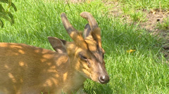 Chinese Muntjac, Muntiacus reevesi, ruminant - close up Stock Footage