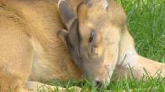 Chinese Muntjac, Muntiacus reevesi, grooming - close up Stock Footage
