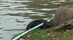 Two Asian Water Monitor Lizards interact - stock footage