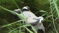 Pair of Demoiselle Crane, Anthropoides virgo preening at lakeside Stock Footage
