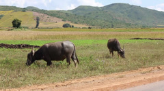 Two buffalo eating grass on a background of hills Stock Footage