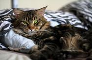 Stock Photo of Maine Coon black cat with green eyes