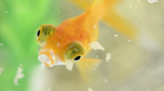 Close-up of a goldfish eating in slow motion Stock Footage
