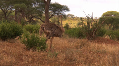 Female ostriches parade by in the savanna of the Serengeti - stock footage