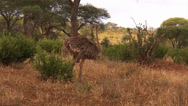 Stock Video Footage of Female ostriches parade by in the savanna of the Serengeti
