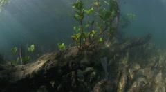 Mangrove trees underwater view in Bunaken Island, Sulawesi Stock Footage